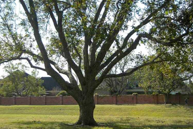 7170-huge-pecan-tree